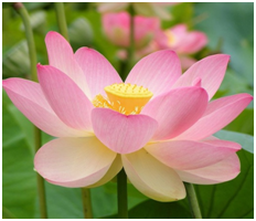 Lotus vietnams national flower sydney language solutions lotus flower has been regarded as vietnams national flower lotus symbolizes the beauty commitment health honor and knowledge mightylinksfo
